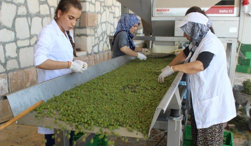 Tri effectué après une récolte de raisins blancs destinés à la production de vin blanc Narince.