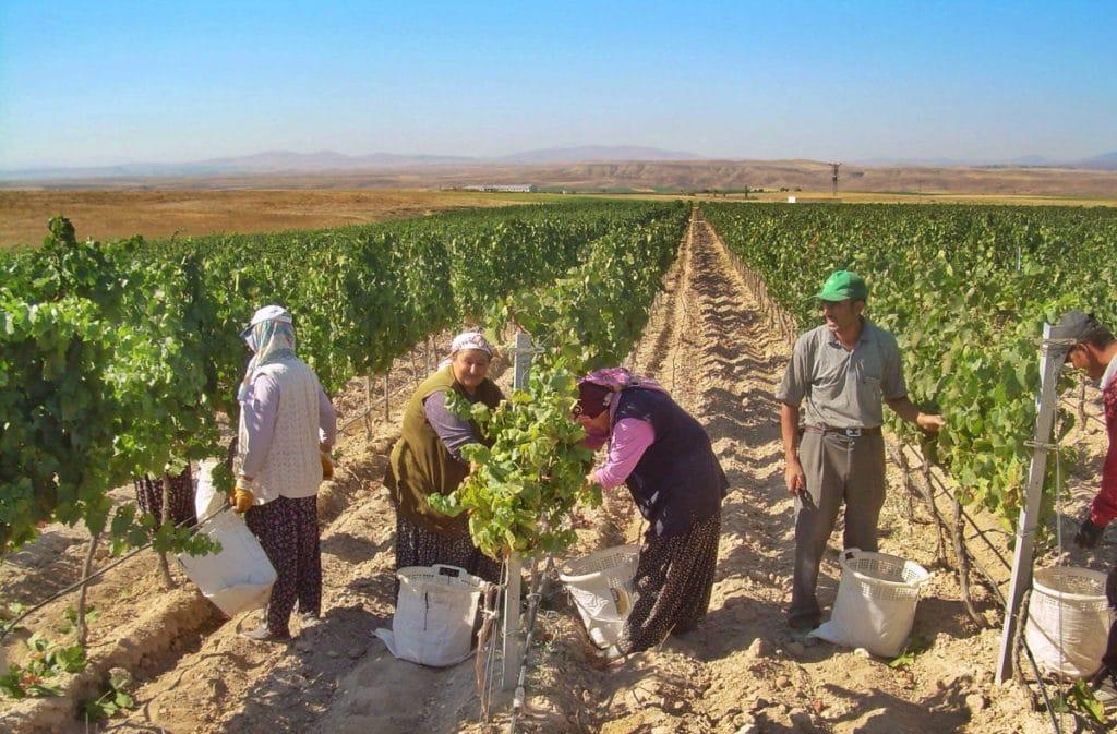 Cueillette des raisins dans les vignobles des Côtes d'Avanos des vins de Kavaklıdere en Turquie.